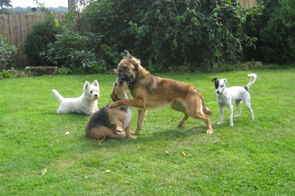 Brittas-Hundepoaradies-Hunde-spielen